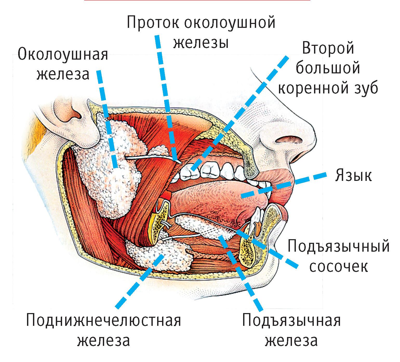 Железа Околоушная
