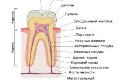 Схема строения зуба человека