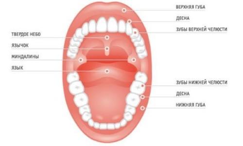 Основные элементы полости рта