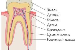 Анатомия здорового зуба